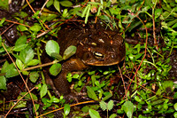 Cane or Marine Toad