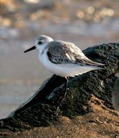 Sanderling, Playero Arenero