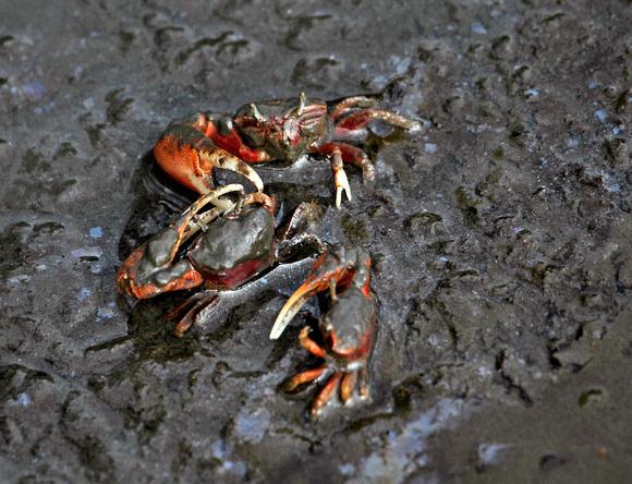 Puerto Rico Wildlife: Alfredo Colón | Crabs | Crabs