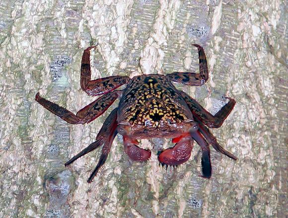 Puerto Rico Wildlife: Alfredo Colón   Crabs   Mangrove ...