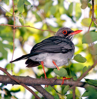 Red-legged Thrush, Zorzal Patirrojo