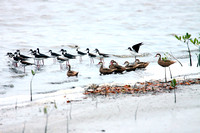 Black-necked Stilts and White-cheeked Pintails