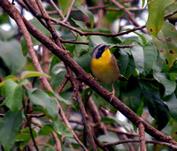 Common Yellowthroat, Reinita Pica Tierra