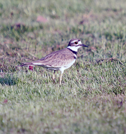 Killdeer, Playero Sabanero