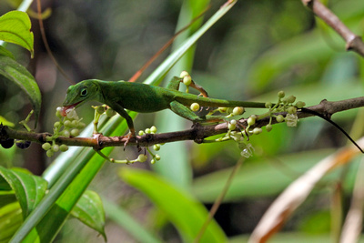 Puerto Rico Wildlife:  Alfredo Colón: All Lizards &emdash; Puerto Rican Emerald Anole