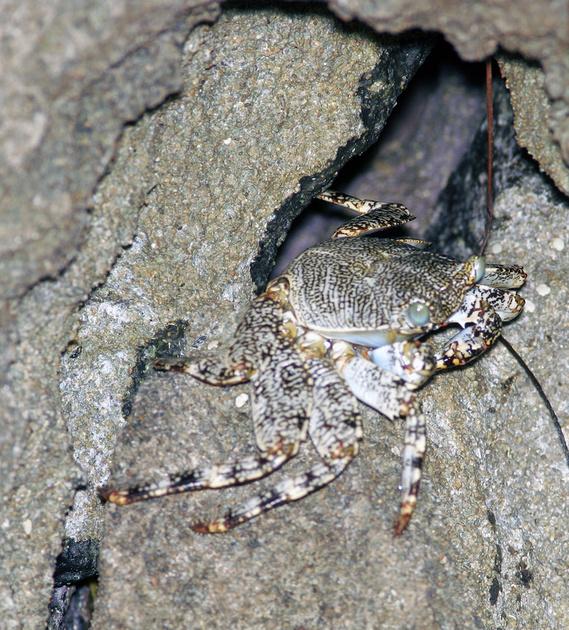 Puerto Rico Wildlife: Alfredo Colón   Crabs