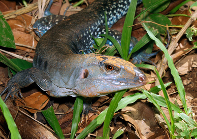 Puerto Rico Wildlife:  Alfredo Colón: All Lizards &emdash; Iguana