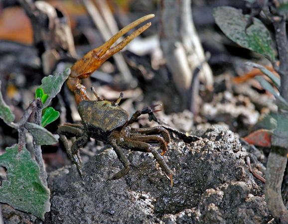 Puerto Rico Wildlife: Alfredo Colón | Crabs | Fiddler Crab