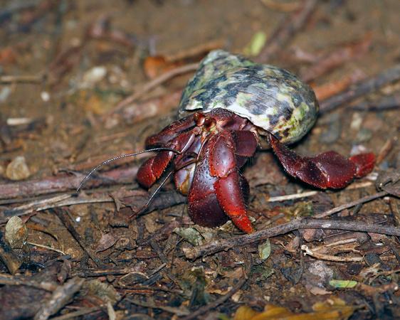 Puerto Rico Wildlife: Alfredo Colón | Crabs | Hermit Crab