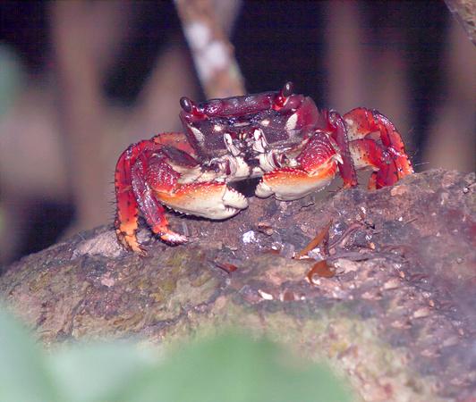 Puerto Rico Wildlife: Alfredo Colón | Crabs | Mangrove Crabs ...