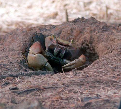 Puerto Rico Wildlife: Alfredo Colón | Crabs | Land Crab, Cangrejo