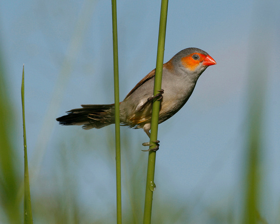 Orange-cheeked Waxbill, Veterano