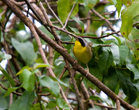 Common Yellowthroat, Reinita Picatierra
